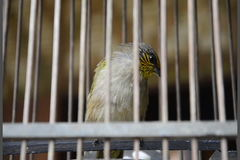 Stripe-throated Bulbul stock video footage