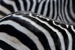 Stripe of zebra Royalty Free Stock Photos