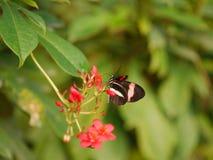 Striped бабочка Стоковое Изображение RF
