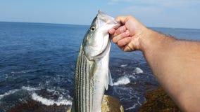 striped бас Стоковые Фото