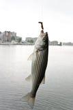 striped бас Стоковое Изображение RF