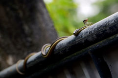 Striped буйволовой кожей змейка Keelback Стоковые Изображения