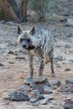 Striped гиена стоит на утесах выглядя передним взглядом портрета показывая свои мех и нашивки в сафари стоковые фотографии rf