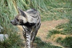 Striped гиена Hyaena Hyaena, наблюдающ окрестностями стоковое фото