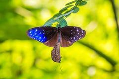 Striped голубая бабочка вороны Стоковое Изображение