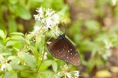 Striped голубое mulciber Euploea вороны Стоковое Фото