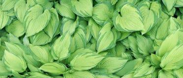 Striped желтое и зеленое знамя листьев Стоковые Изображения RF