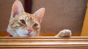 Striped желтым цветом смотреть кота Стоковые Фото