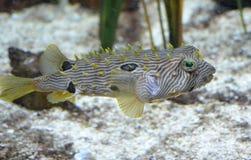Striped заплывание Burrfish вдоль океанского дна стоковое изображение rf