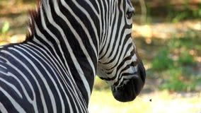 Striped зебра стоит в зоопарке на солнечный день в лете в замедленном движении сток-видео