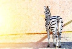 Striped зебра стоя ОН назад кабель E древесина песни природы влюбленности grouse одичалая Стоковое фото RF