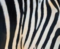 striped зебра Стоковое Изображение