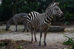2 striped зебры едят сено в после полудня Стоковая Фотография RF