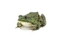 Striped зеленая лягушка Стоковое Изображение RF