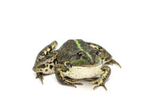 Striped зеленым цветом лягушка болота Стоковое Изображение