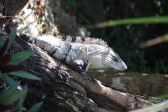Striped игуана Стоковое Изображение