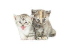 2 striped изолированные котята Стоковые Фото