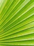 Striped лист пальмы вентилятора Стоковые Изображения RF