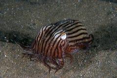 Striped кальмар пижамы Стоковая Фотография