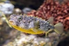 Striped конец underwater burrfish вверх по детали макроса стоковая фотография rf