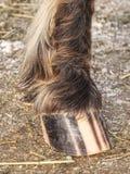 Striped копыто коричневой поставленной точки ponny лошади, детали нашивок стоковое фото