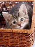 Striped котенок в корзине Стоковые Изображения RF