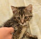 striped котенок в руках Стоковые Фотографии RF