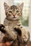 striped котенок в руках Стоковое Изображение RF