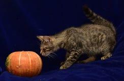 striped котенок и тыква Стоковое Изображение RF
