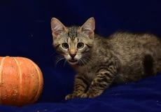 striped котенок и тыква Стоковое фото RF