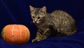 striped котенок и тыква Стоковые Изображения