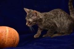 striped котенок и тыква Стоковое Фото