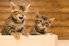 2 striped котенок породы Бенгалии играя в деревянной коробке Стоковое фото RF