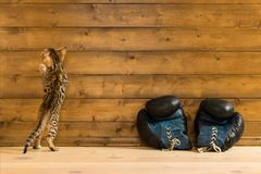 Striped котенок против деревянной стены с перчатками бокса Стоковое фото RF