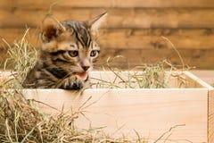 Striped котенок сидит в коробке древесины и смотрит сено Стоковая Фотография RF