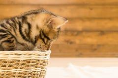 Striped котенок сидя в плетеной корзине и смотря к стороне на деревянной предпосылке стены Стоковые Изображения