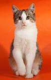 Striped котенок сидя на апельсине Стоковая Фотография