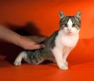 Striped котенок сидя на апельсине Стоковое фото RF