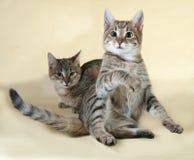 2 striped котенок сидя на желтом цвете Стоковое Изображение