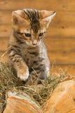 Striped котенок стоит на древесине и играх с сеном Стоковое фото RF