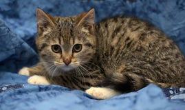 striped котенок с белыми лапками Стоковые Фотографии RF