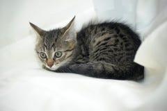 Striped котенок Стоковое Изображение RF