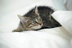 Striped котенок Стоковые Изображения RF