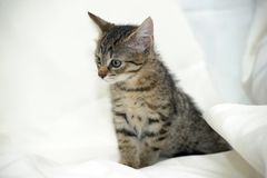 Striped котенок Стоковые Изображения