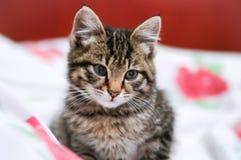 Striped котенок стоковые фотографии rf