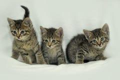 3 striped котенок Стоковые Фотографии RF