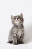 striped котенок Стоковая Фотография