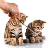 2 striped котят на белой предпосылке Стоковые Фотографии RF