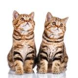 2 striped котят на белой предпосылке Стоковая Фотография RF