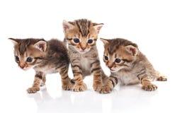 3 striped котят Стоковое Изображение